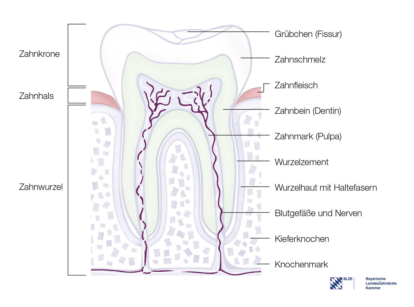 Großzügig Zahnanatomie Diagramm Ideen - Anatomie Ideen - finotti.info